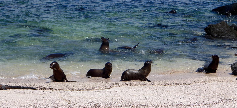 Galápagos zeeleeuwen op de galápagos eilanden
